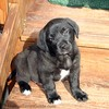 Tenor at 2 months of age on the back step. He's much more Lab-looking, and bigger than Destin was at this age.