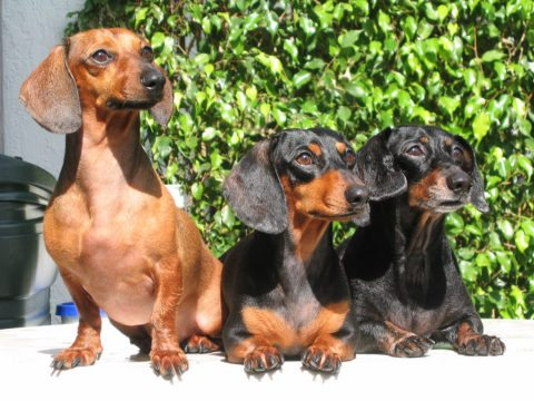 three dachshunds