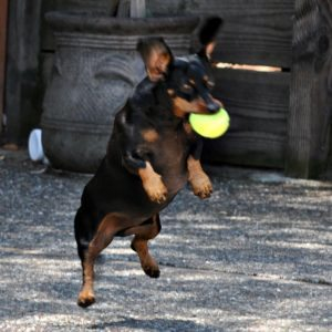 wiener dog catching a ball