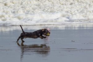 dachshund dog playing fetch on the beach