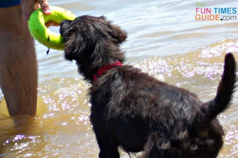 Our puppy playing with an Air Kong dog toy in the lake... they float!