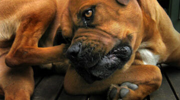 Dog Allergy Symptoms, Causes & Treatment