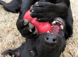 DIY Kong Treats & Healthy Recipes For Your Dog's Kong Toy