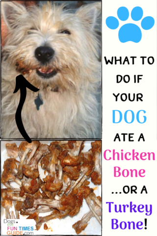 Here's what you should do if your dog ate a chicken bone or a turkey bone (because cooked bones are dangerous to dogs).