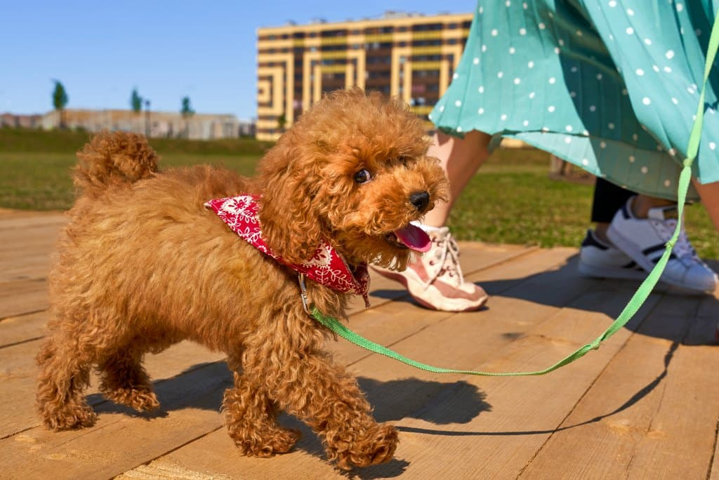 Most dogs will willingly wear a bandana around their neck, under their ears, or over their head.