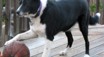 Videos Of Dogs Playing Basketball – Can Your Dog Do That?