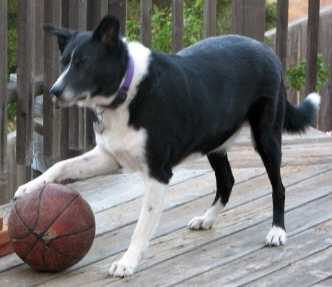 dog-basketball