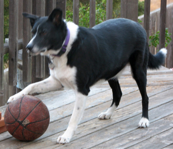 videos of dogs playing basketball   can your dog do that