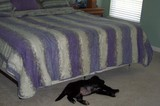 Our dog... back in the day when we used to let him up on our bed. FYI:  This is not he comforter I purchased, then returned.