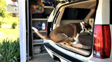 This is our youthful Husky/Pitbull boy dog jumping into the SUV.