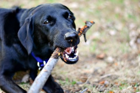 dog-chewing-on-sticks