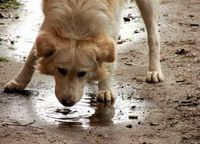 dog-drinking-water-from-puddle-by-costi.jpg