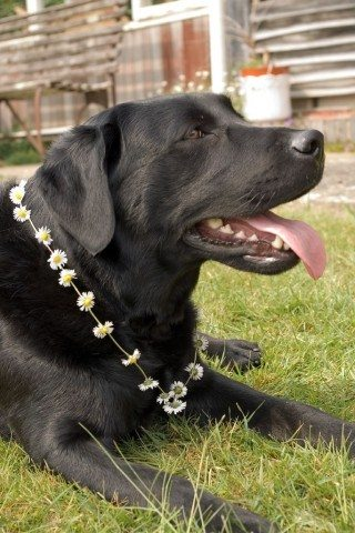 Dog wearing a necklace made of fresh flowers. photo by sjdunphy on Flickr