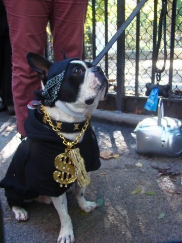 Gangsta dog wearing gold necklace. photo by istolethetv on Flickr