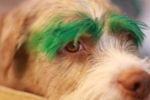 dog-hair-dyed-eyebrows