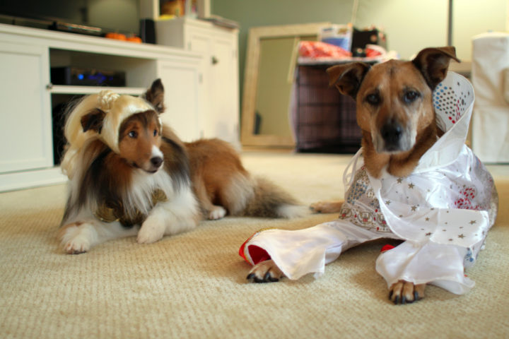 6 funny dog halloween costumes you can make with little or no sewing the dog guide - Halloween Costumes For Labradors