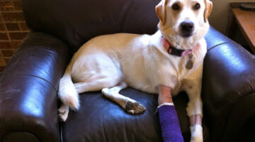 How To Keep Dog Bandages And Casts Dry In Wet, Rainy Or Snowy Conditions