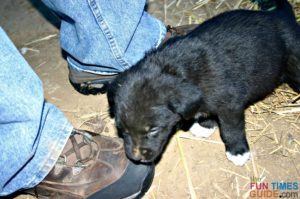 Tenor a couple weeks before he was old enough to leave the litter - sniffing out his potential pet parents.