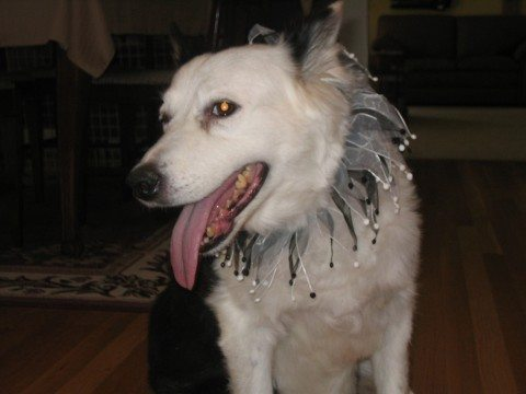 Dog wearing fun doggy bling for a formal pet party. photo by sailorbill on Flickr