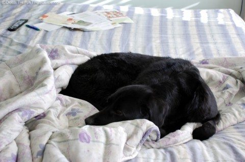 dog-on-bed-without-pillows