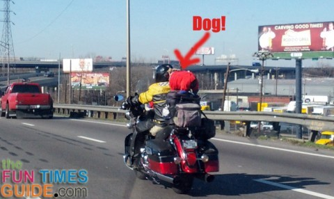 Two dogs riding on a motorcycle in highway traffic.
