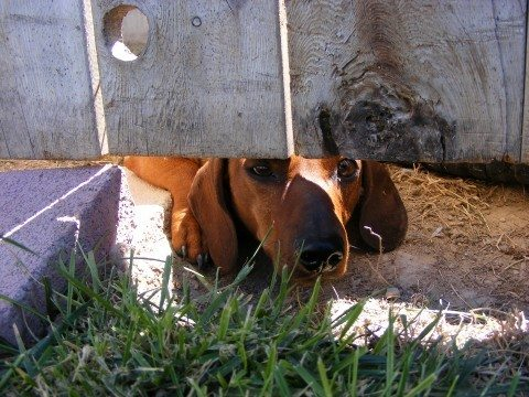dog-peeking-under-fence-by-vee8.jpg