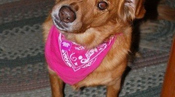 Curious dog wearing a pink bandanna. photo by wolfsavard on Flickr