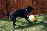 Our dog playing soccer with basketball.