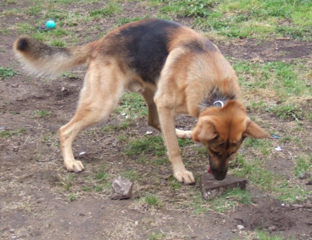 Help... My Dog Ate A Rock! What To Do If Your Dog Eats Stones Or ...