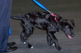 Our dog, Destin, pulling while walking on a leash.