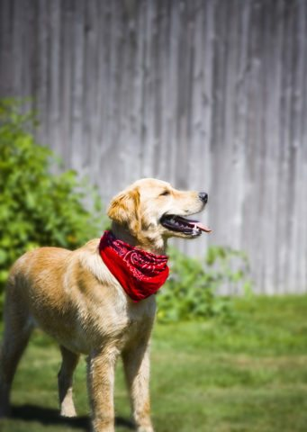 Dog wearing a red bandanna. photo by shoothead on Flickr