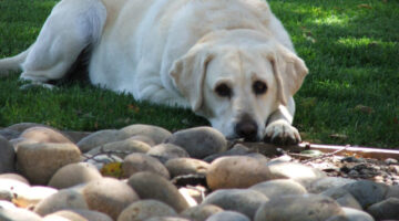 Help… My Dog Ate A Rock! What To Do If Your Dog Eats Stones Or Pebbles