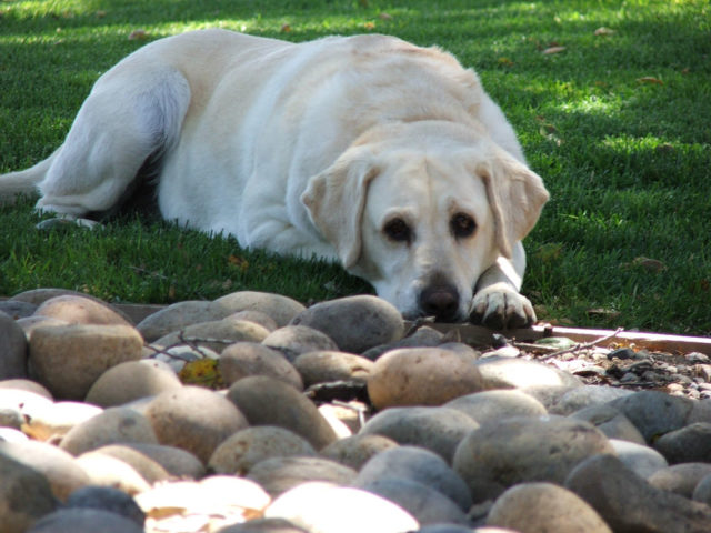 What To Do If Your Dog Eats Rocks