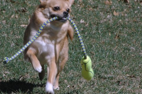 dog-running-with-toys
