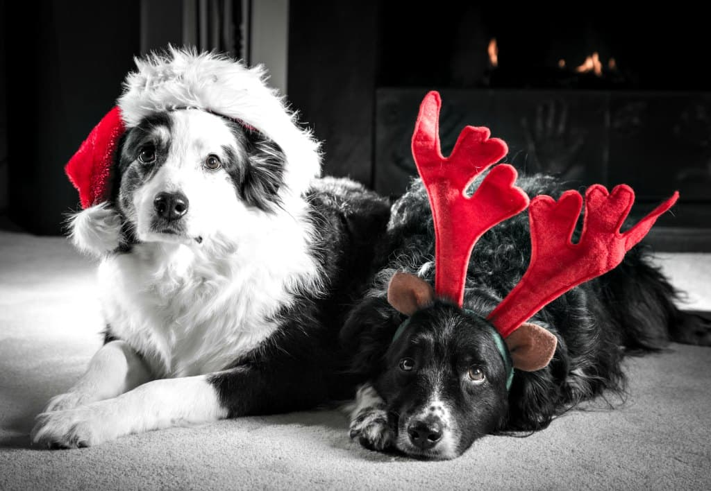 Santa hats and headband antlers for dogs are the most common way to get your dog used to wearing things on their head.