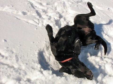 Dog scratching his itchy, dry skin in the snow.