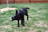 Our dog, Tenor, shaking while running outside.