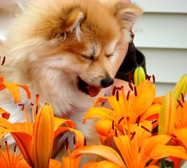 dog-sneezing-at-flowers-by-CaptPiper.jpg