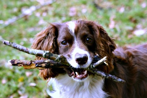Dog with sticks