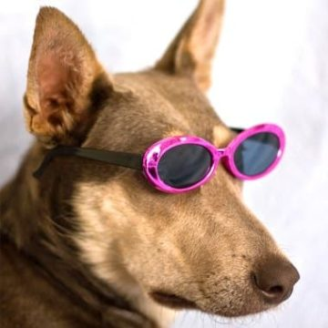 Most dogs tolerate wearing sunglasses, especially the official doggles -- because they have a strap that keeps them in place.