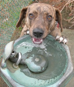 dog-water-fountain-by-thetorpedodog.jpg