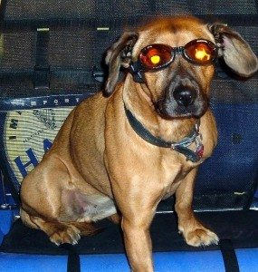 dog-wearing-sunglasses