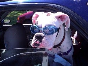 dog-wearing-sunglasses-doggles