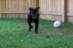 A dog running with a tennis ball in his mouth.