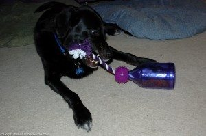 At times, he was more interested in the rope than the treats inside the Tug-A-Jug bottle