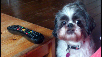 Retriever Dog Tricks: Teach Your Dog To Find The TV Remote Control