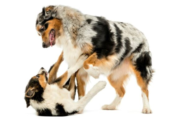 Dog on dog jealousy