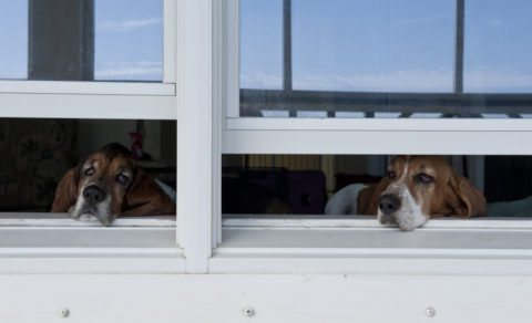 Hounds looking out the windows.