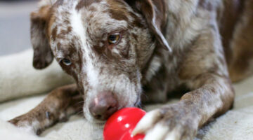 Why Kong Toys Are The Best Toys For Dogs
