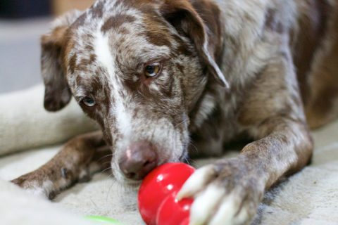 Dogs love Kong toys because they enjoy getting the stuffed treats out!